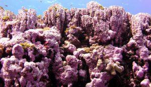 Coralline 2